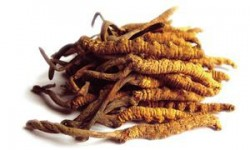 what-cordyceps-sinensis