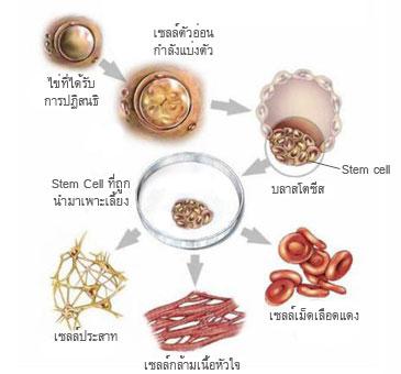 สเต็มเซลล์ที่ช่วยฟื้นฟูเซลล์ที่เสื่อมสภาพ