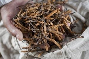 ถั่งเช่า พืชสมุนไพร ของจีน บำรุงร่างกาย บำรุงไต เสริมภูมิต้านทาน เสริมสมรรถภาพทางเพศ