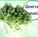 อัลฟัลฟ่า มีประโยชน์และช่วยบำรุงร่างกายอย่างไร
