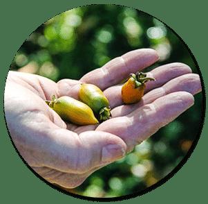 พืชญี่ปุ่น มาตาตาบิ matatabi ช่วยปกป้องผิวจากมลภาวะ