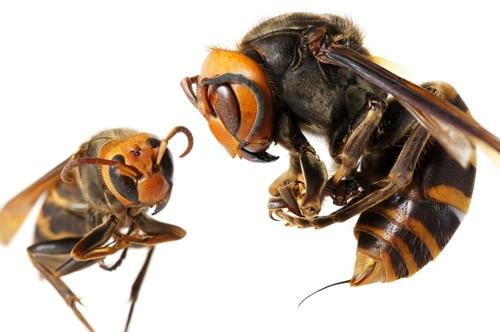 พิษจากเหล็กในผึ้ง ช่วยให้หน้าเด้งเต่งตึง