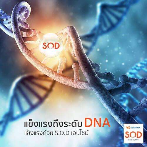เอนไซม์ SOD คือสารต้านอนุมูลอิสระที่ดีที่สุด