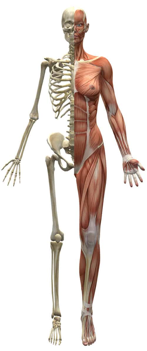 ความแข็งแรงของกล้ามเนื้อและกระดูก