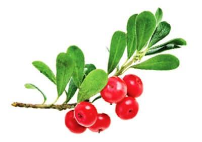 สารสกัดจาก bearberry ทำให้ดูผิวขาวธรรมชาติและกระจ่างใสขึ้น