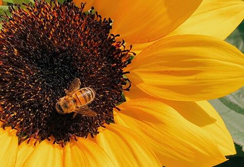 ผึ้งจากประเทศนิวซีแลนด์